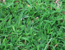Asulox Herbicide No Longer Available to Homeowners